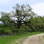 Oak at Base of Windy Hill