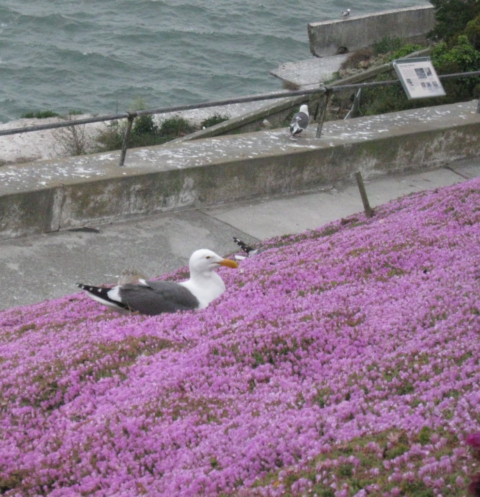 Gulls Of Alcatraz 2